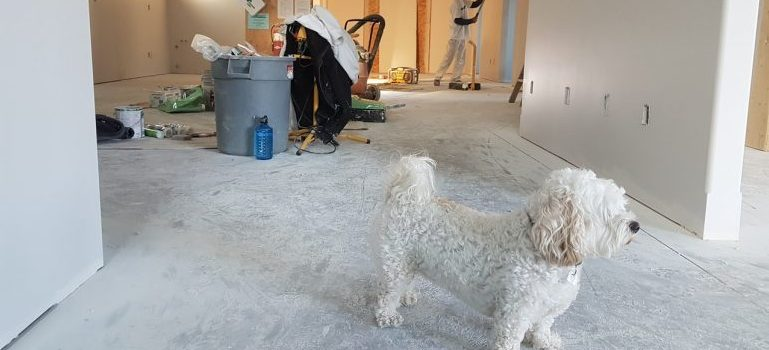 Picture of a white poodle standing in a room where renovations are taking place