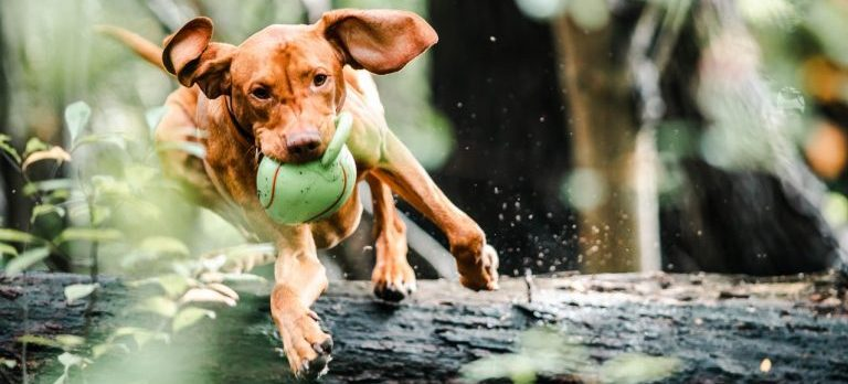 A puppy jumping over a log while holding a ball in his mouth.