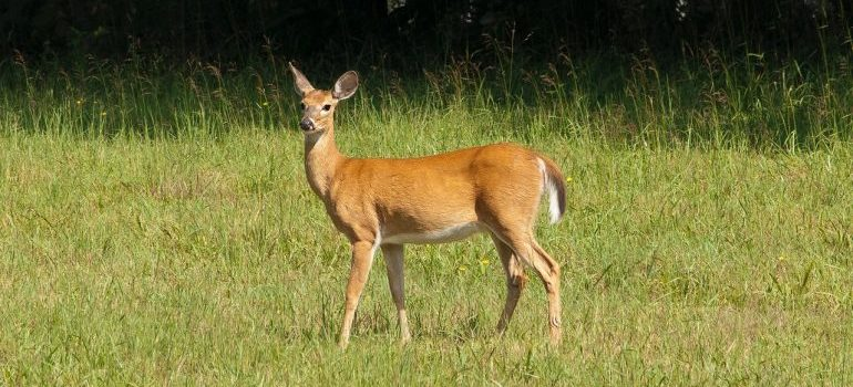 A small deer in a grassy field.
